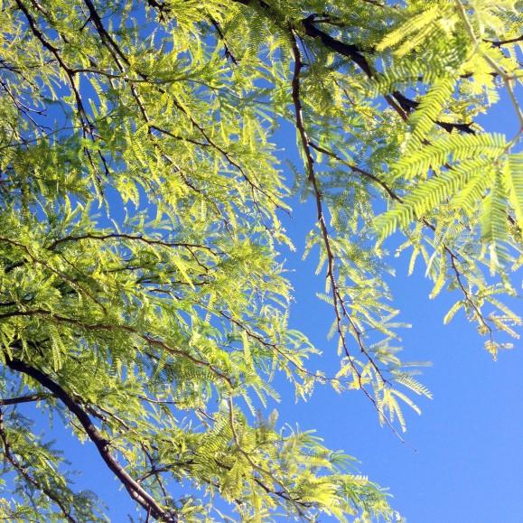 mesquite in the sunlight